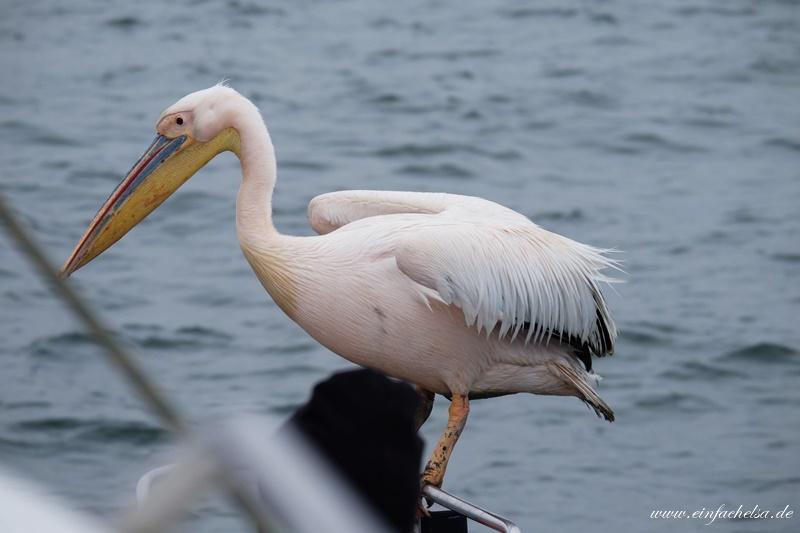 10Namibia-Pelikan-bei-Tourist