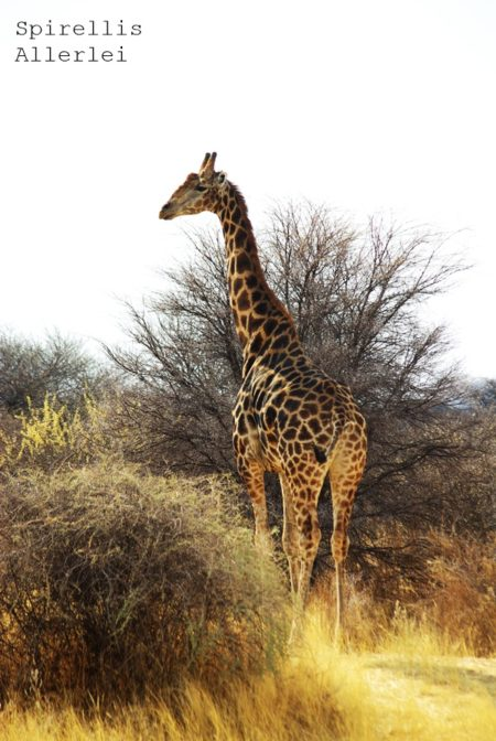 spirellis-allerlei-namibia-giraffe