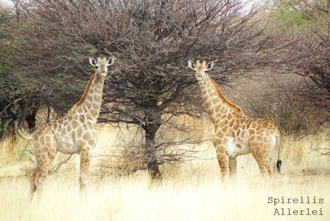 spirellis-allerlei-namibia-giraffen-baby