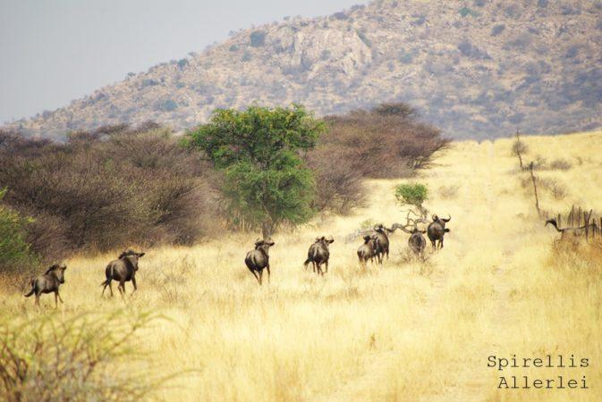 spirellis-allerlei-namibia-gnu