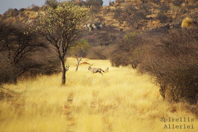 spirellis-allerlei-namibia-oryx