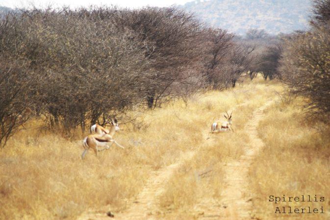 spirellis-allerlei-namibia-springbock