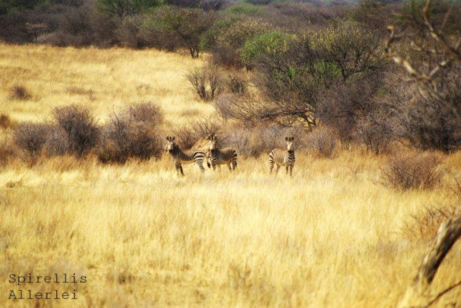 spirellis-allerlei-namibia-zebra