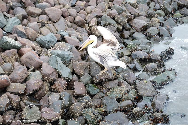 3Namibia-Pelikan-Ufer